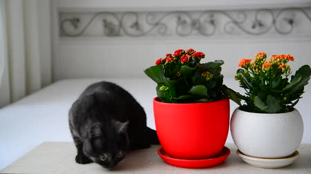 горшках : Gray young cat sniffs potted flowers Стоковые видеозаписи