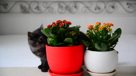 горшках : Gray young cat walks about potted flowers