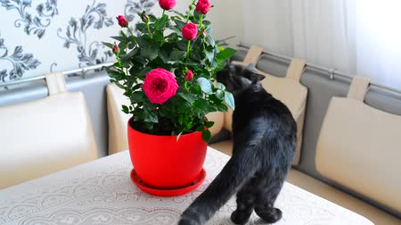 sobre : Gray young cat walks about potted flowers