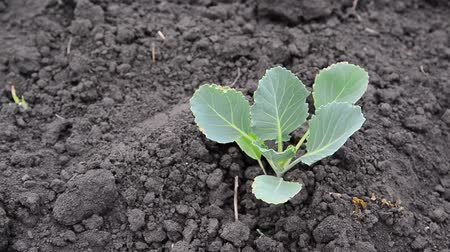 aliment : Sprout of young cabbage on black earth Stock Footage