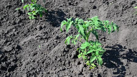 aliment : Sprout of young tomato on black earth