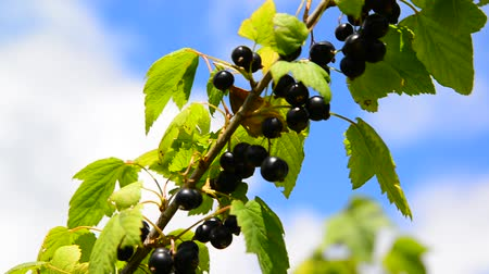 смородина : Branch of black currant with ripe berries in wind Стоковые видеозаписи