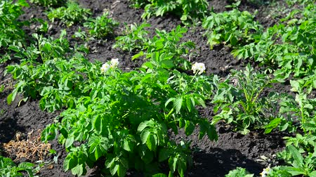 fazla : field of flowering potatoes is swaying in wind