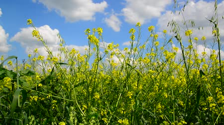 beporzás : Flowering Yellow Barbarea vulgaris in wind against beautiful sky Stock mozgókép