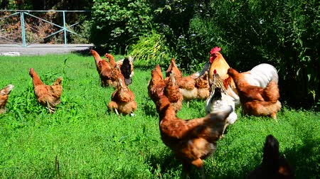 kuşçuluk : Rooster and chickens running along grass Stok Video