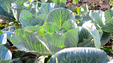 aliment : Young cabbage infested with pests