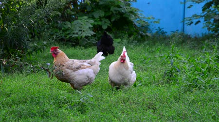 петух : Two light chicken pecking grass