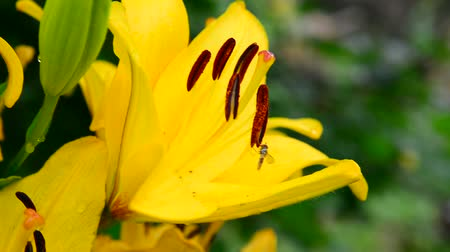 estames : beautiful yellow lily with large stamens