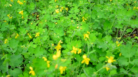 gramíneo : Yellow flowering celandine in rain drops Vídeos