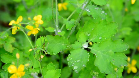 estames : Yellow flowering celandine in rain drops Vídeos
