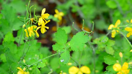 çimenli : Yellow flowering celandine in rain drops Stok Video