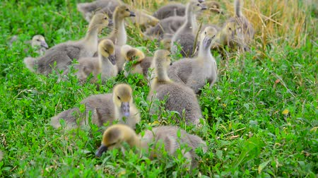 tweak : Flock of goose grazing on green grass