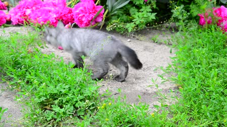 csöves virág : Gray kitten walks along the grass next to pink pion. Stock mozgókép