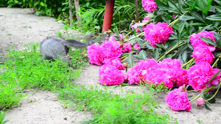 floweret : Gray kitten walks along the grass next to pink pion. Stock Footage