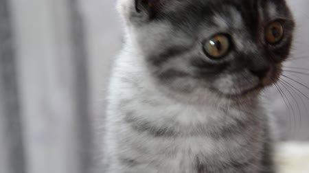 бдительный : Close-up portrait of gray kitten of British breed Стоковые видеозаписи