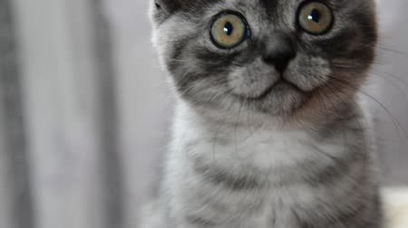 arranhão : Close-up portrait of gray kitten of British breed Stock Footage
