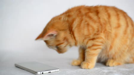 tahy : Ginger kitten playing on cell phone