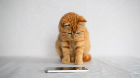 five striped : Ginger kitten playing on cell phone