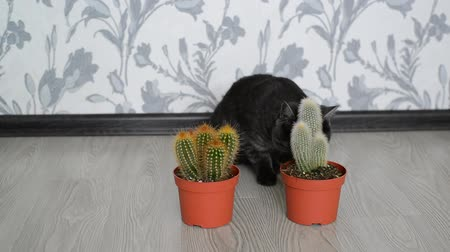 簡潔 : Cat sniffing a cactus standing on floor in room