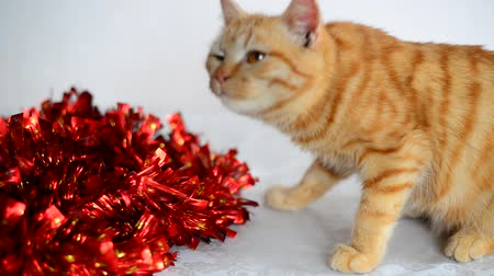 cicili bicili : Orange kitten smelling red New Years Tinsel Stok Video