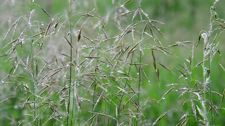 gale : Wild oats in droplets of water after rain in summer