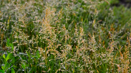 gale : Wild grass in droplets of water after rain in summer