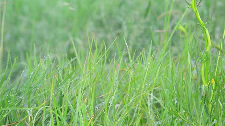 gale : Grass in droplets of water after rain in summer Stock Footage