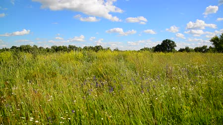 フラグメント : Wild meadow from different grasses In central part of Russia