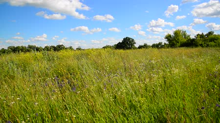 mead : Wild meadow from different grasses In central part of Russia