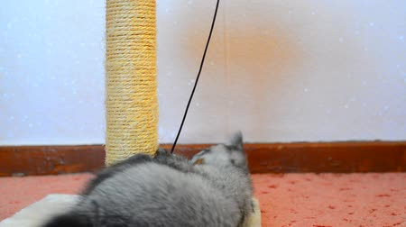 kittens playing : Gray british kitten playing with toy and scratching post