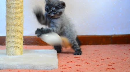 манга : Gray british kitten playing with toy and scratching post