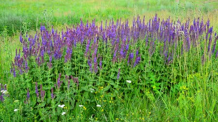 salie : Salvia Superba-close-up op weide in zomer Stockvideo