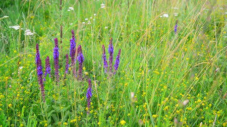 salie : wild meadow with Salvia Superba flowers in summertime