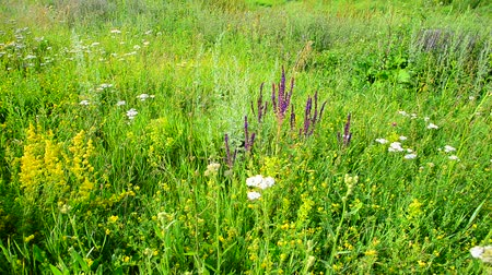 salvia : wild meadow with Salvia Superba flowers in summertime