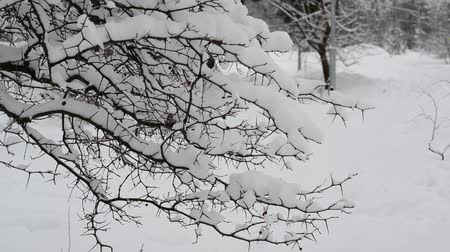 geada : branches of bush covered with snow