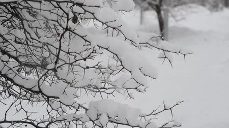 birch tree : branches of bush covered with snow