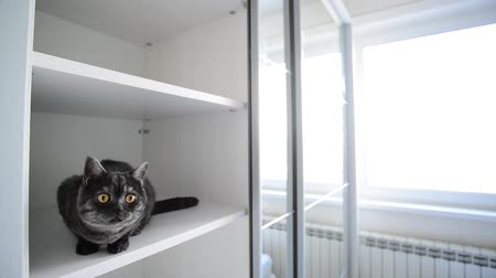 kaloryfer : black British cat sits in a white cabinet
