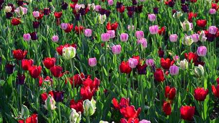 bulboso : Tulips of different colors and gardens in flowerbed