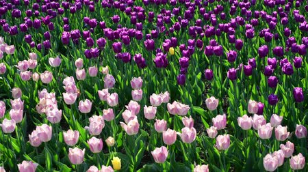 bulboso : There are many lilac and pink tulips in flowerbed Vídeos