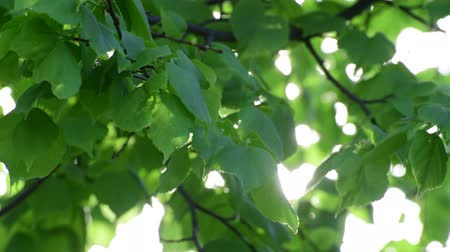falsificação : Linden leaves shot large in backlight Stock Footage