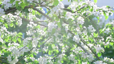 apple park : Branches of blossoming apple tree in sun