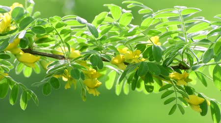 フラグメント : Caragana arborescens or yellow acacia 動画素材