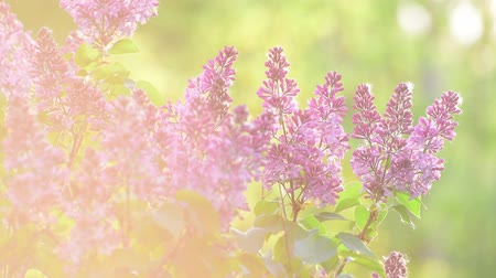 leylak : Beautiful lilacs In rays of sunset Stok Video