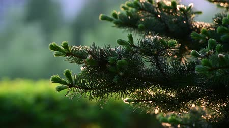 brotos : Spruce with young shoots in spring