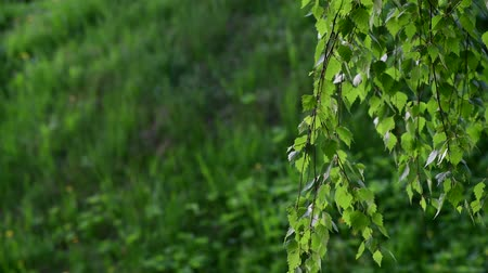 ambientalmente : birch tree with young leaves in spring
