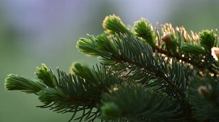 brotos : Spruce with young sprout in spring