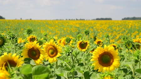 polinização : Beautiful Fields with blooming sunflowers Vídeos