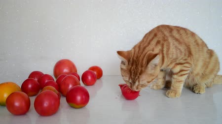 animal paws : Red cat is eating ripe tomatoes