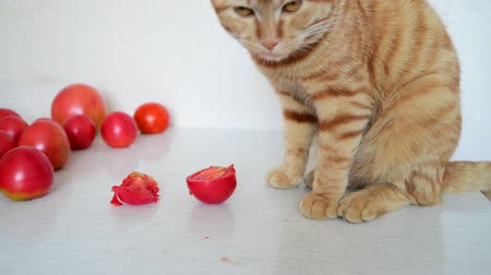 язык : Cat is eating ripe tomatoes Стоковые видеозаписи