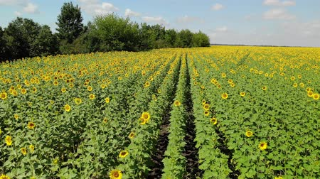 sunflower : Beautiful field with sunflower in Russia